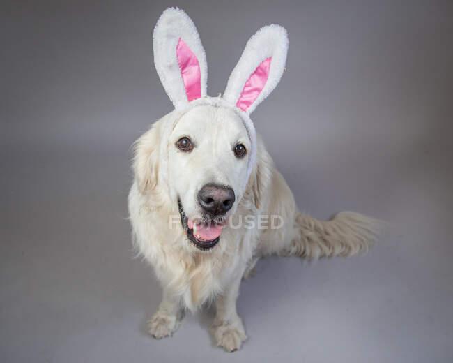 Retrato de una crema inglesa golden retriever con orejas de conejo - foto de stock