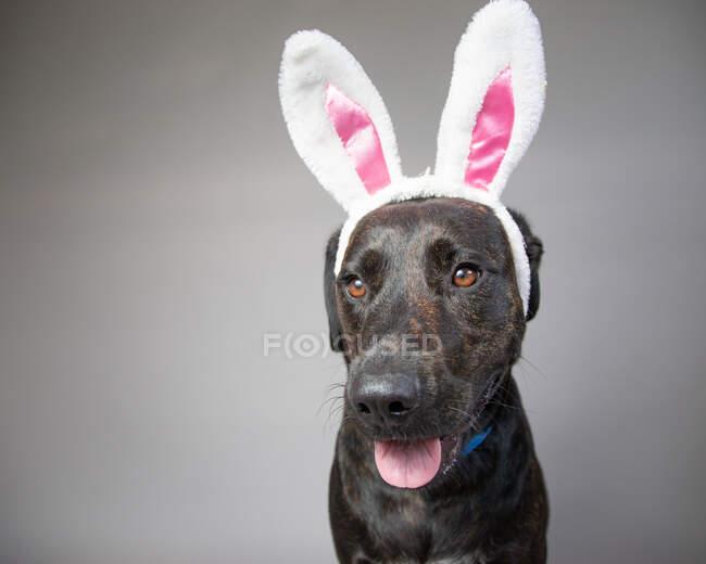 Retrato de un labrador recuperador con orejas de conejo - foto de stock