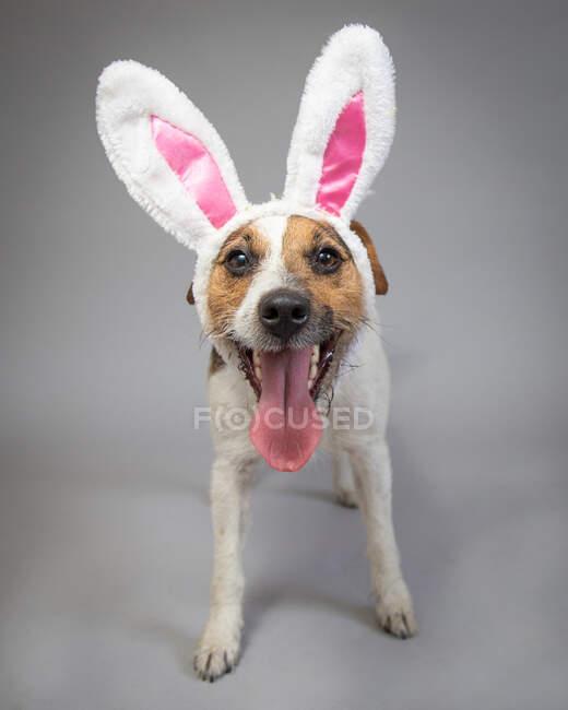 Retrato de un gato russell usando orejas de conejo - foto de stock
