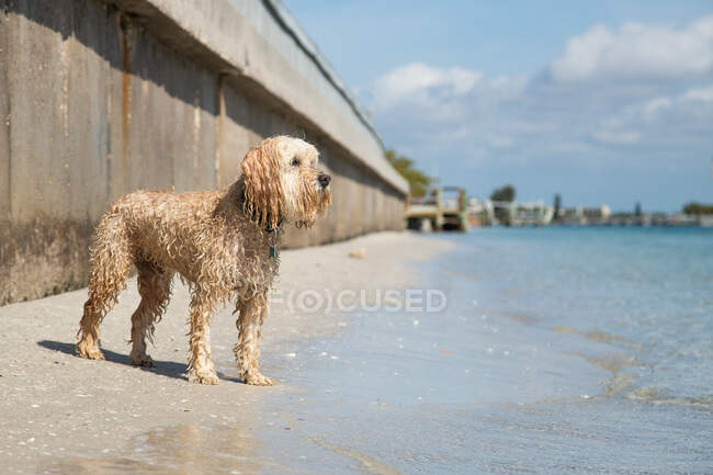 Wet Cockapoo standing on beach by the ocean, Florida, USA — Stock Photo