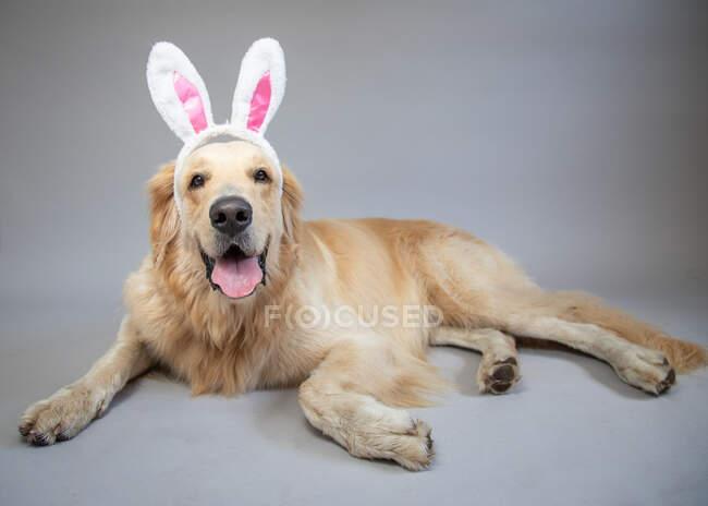 Retrato de un golden retriever con orejas de conejo - foto de stock