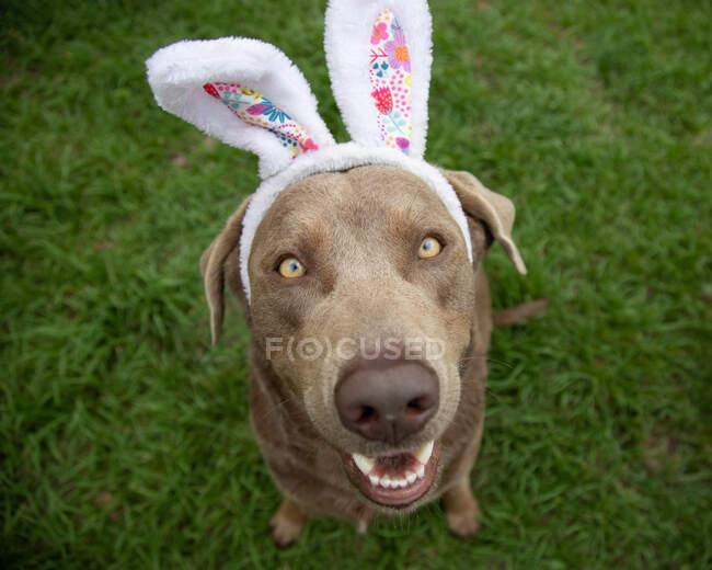 Retrato de un labrador retriever plateado con orejas de conejo - foto de stock