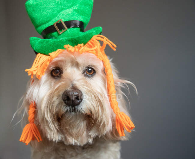 Portrait of a cockapoo dressed as a St Patrick's Day leprechaun — Stock Photo