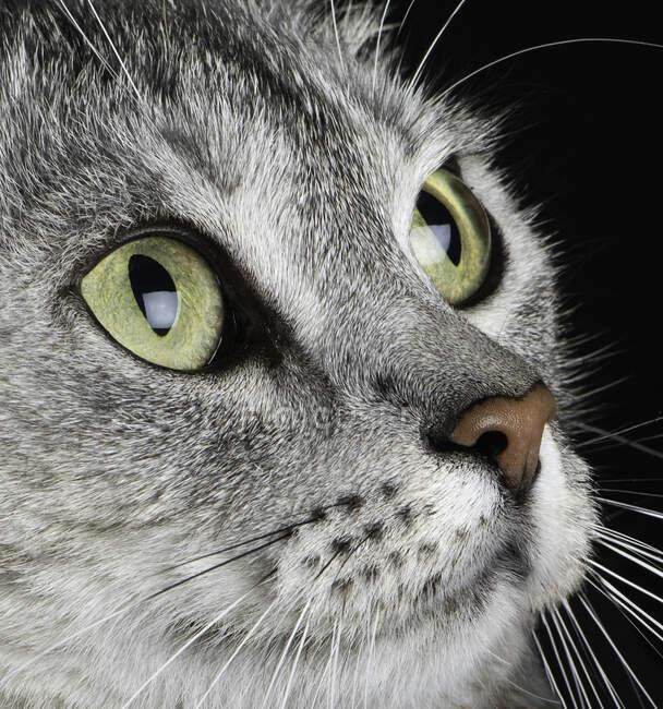 Retrato de cerca de la cara de un gato canoso - foto de stock