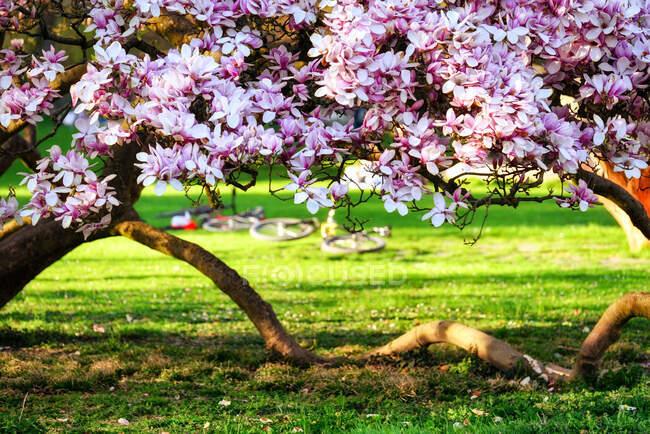 Close-up of a Magnolia tree in bloom in Kurpark, Baden, Aargau, Switzerland — Stock Photo