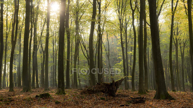 Luce del sole tra gli alberi in autunno, Speulderbos Forest Reserve, Veluwe, Gelderland, Paesi Bassi — Foto stock