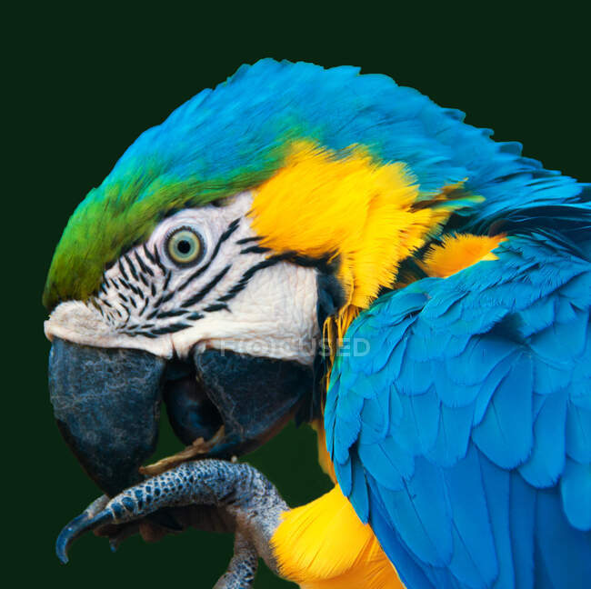Close-up portrait of a parrot eating, South Africa — Stock Photo
