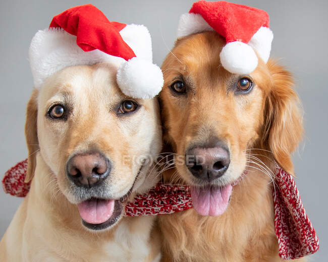 Portrait of a golden retriever and labrador wearing Santa hats and a scarf — Stock Photo