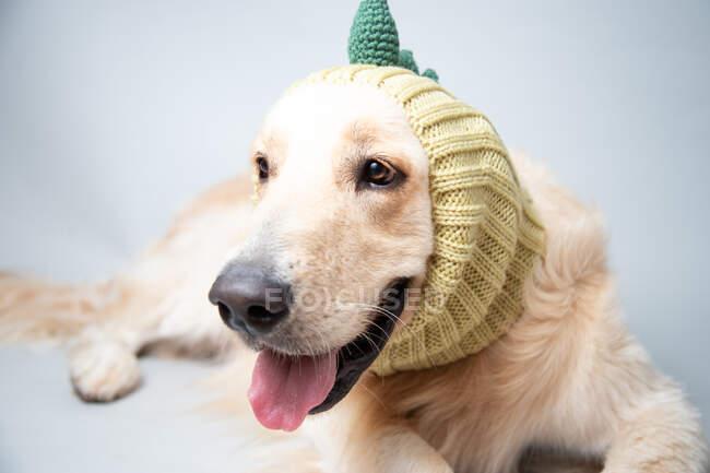 Retrato de un labrador con una bufanda de dinosaurio - foto de stock