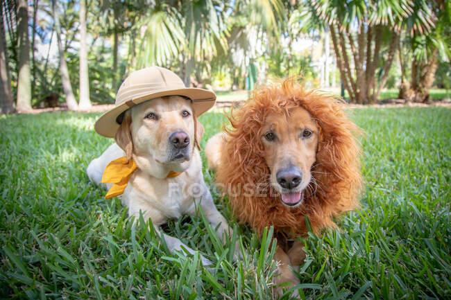 Labrador y golden retriever vistiendo trajes de león y safari, Florida, EE.UU. - foto de stock