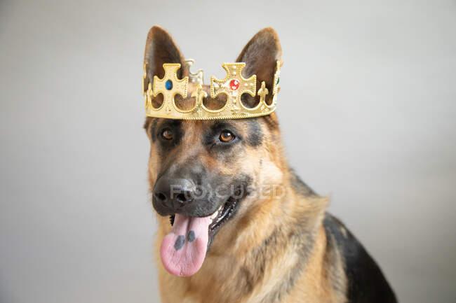 Портрет німецького собаки - пастуха з короною. — стокове фото