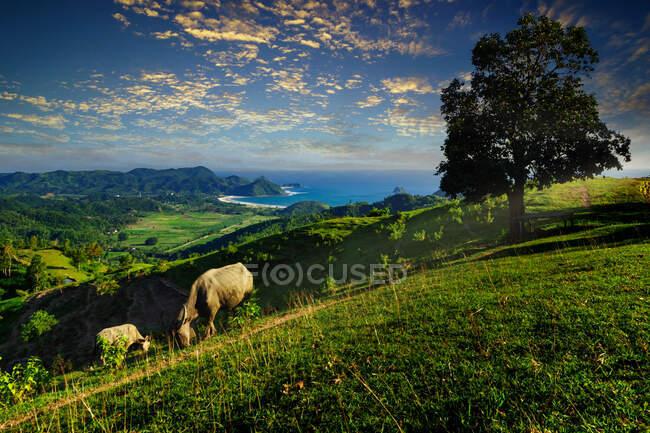 Два буйволи, що пасуться на пагорбі Джабон, Селонг Беланак, Ломбок, Індонезія — стокове фото
