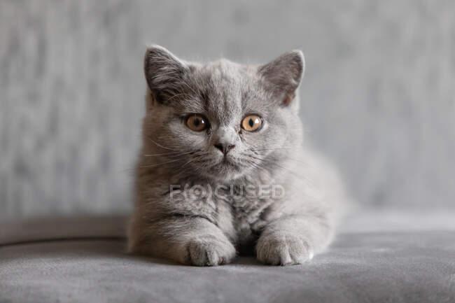 Retrato de un gatito azul británico de taquigrafía acostado sobre una alfombra - foto de stock