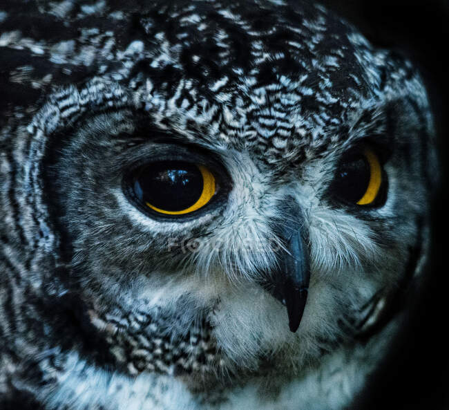 Portrait of feathered wild owl, close up view — Stock Photo