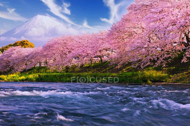 Mount Fuji and Cherry blossoms along a river, Tokyo, Honshu, Japan — Stock Photo
