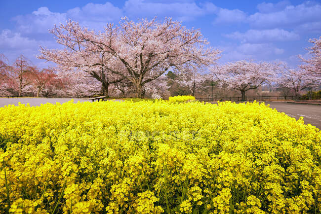 Cherry blossom trees and yellow flowers in a park, Tokyo, Honshu, Japan — Stock Photo