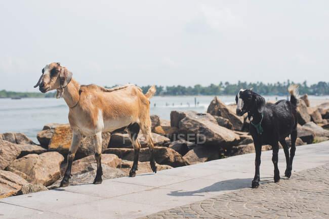 Due capre che camminano lungo il lungomare, Kochi, Kerala, India — Foto stock