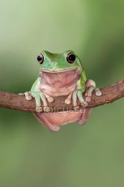 Ritratto di una rana arborea disordinata su un ramo, Indonesia — Foto stock