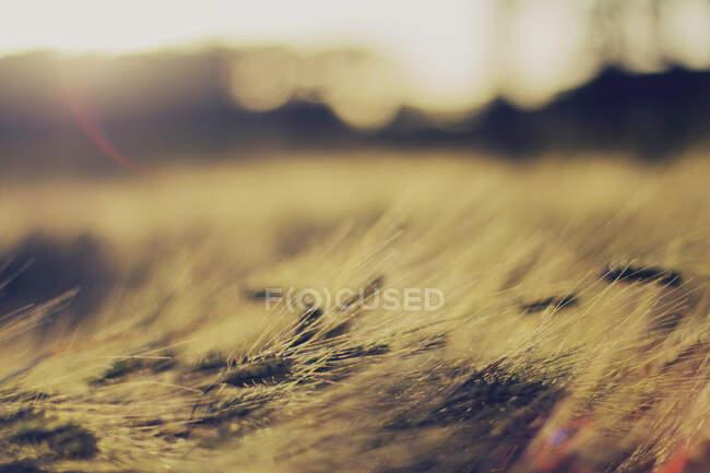 Gros plan d'un champ de blé au coucher du soleil, Belgique — Photo de stock