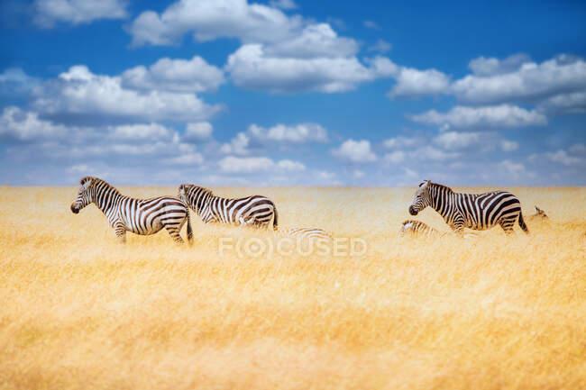 Mandria di zebre nelle praterie, Tanzania — Foto stock