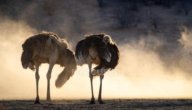Due struzzi sudafricani in piedi nel cespuglio, Sud Africa — Foto stock