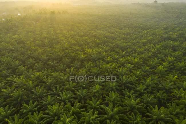 Palm oil plantation at sunrise, Malaysia — Stock Photo