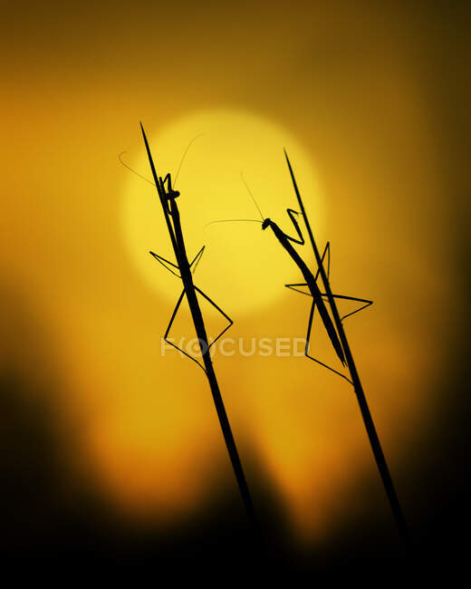Силует двох молитовних манер на траві при заході сонця (Індонезія). — стокове фото