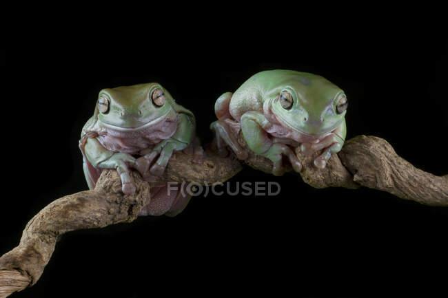 Dos ranas arborícolas australianas en una rama, Indonesia - foto de stock