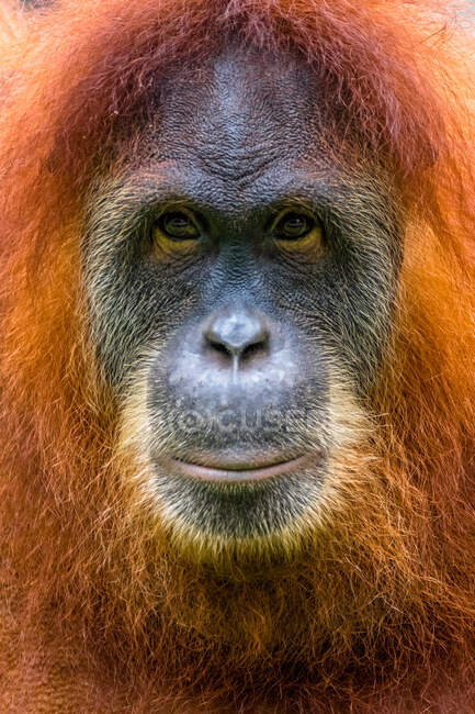 Ritratto di un orango, Borneo, Indonesia — Foto stock