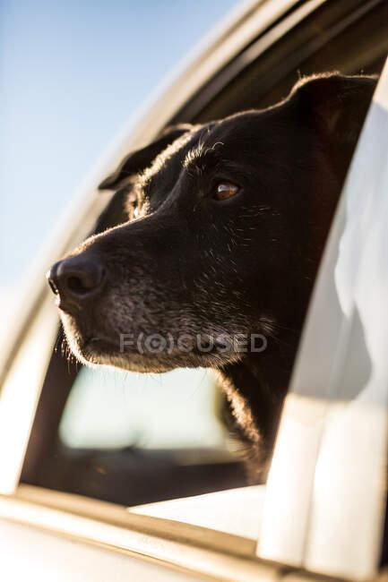Cane che guarda fuori dal finestrino di un'auto — Foto stock