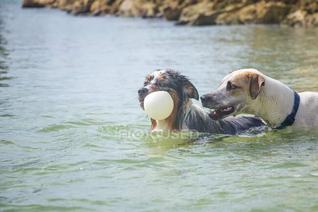 Две собаки играют с мячом в океане, Флорида, США — стоковое фото