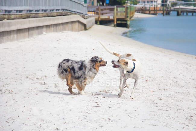 Две собаки бегут вдоль пляжа, Флорида, США — стоковое фото