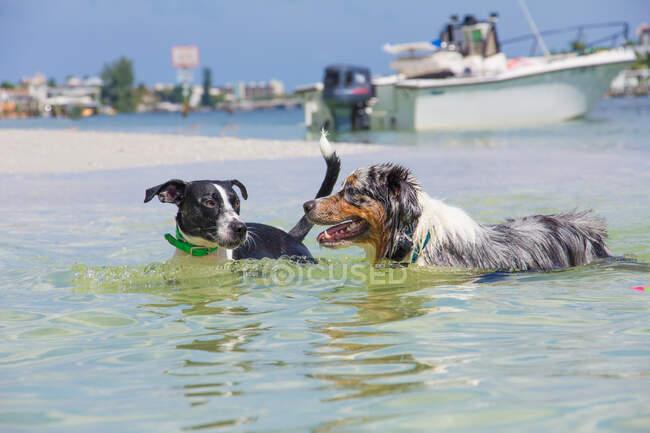 Две собаки играют в океане, Флорида, США — стоковое фото