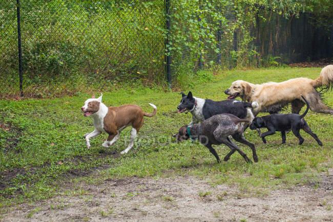 Gruppo di cani che giocano in un parco per cani, Florida, USA — Foto stock