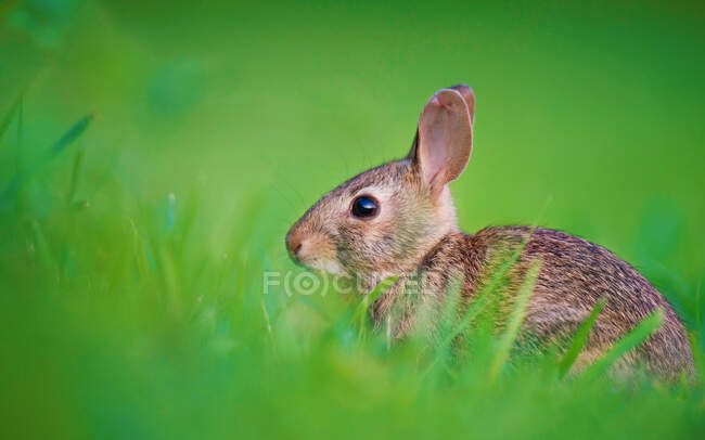 Portrait of a rabbit kit in the grass, India — Stock Photo