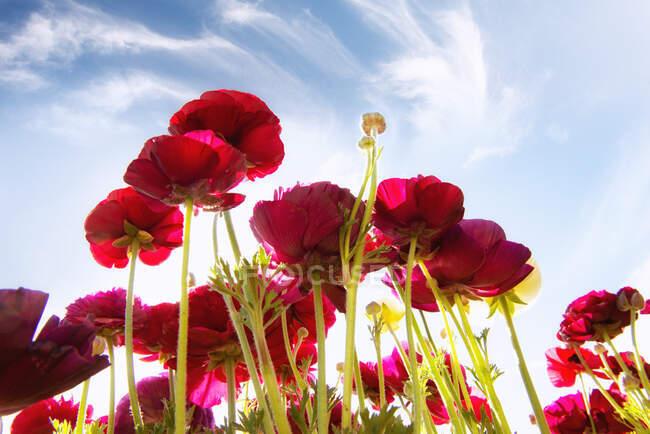 Низький кут Вид на червоні квітки Tecolote Ranunculus, які ростуть на полі (США). — стокове фото