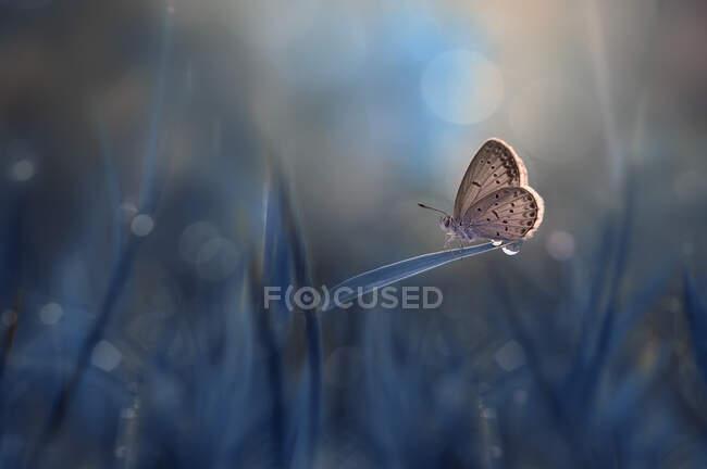 Farfalla su un filo d'erba, Indonesia — Foto stock