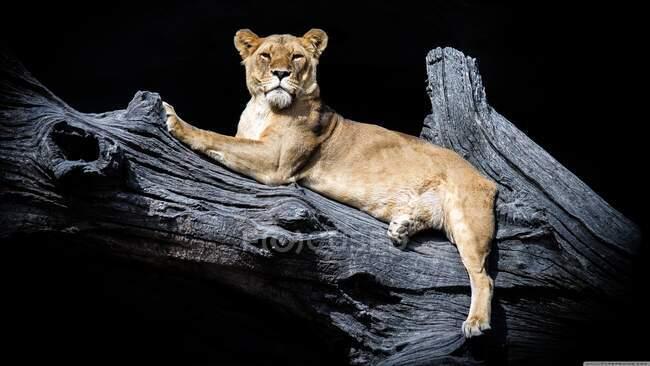 Leona descansando en un árbol por la noche, India — Stock Photo