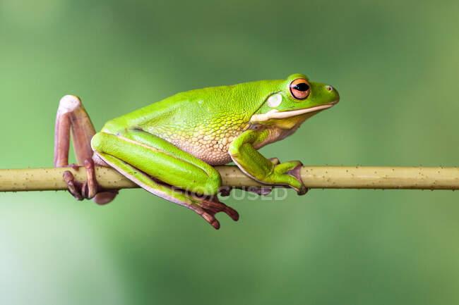 Retrato de una rana de labio blanco sobre una planta, Indonesia — Stock Photo