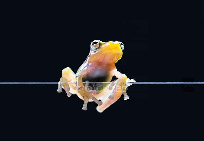 Rana de vidrio en un trozo de vidrio, Indonesia - foto de stock