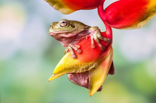 Dumpy rana árbol en una flor, Indonesia - foto de stock