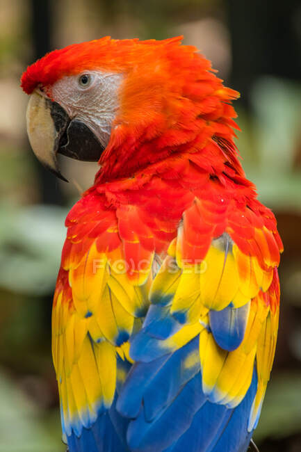 Close-up portrait of a macaw, Indonesia — Stock Photo