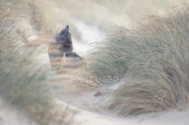 Foca pelliccia selvatica della Nuova Zelanda (Arctocephalus forsteri) nell'erba delle dune, Nuova Zelanda — Foto stock