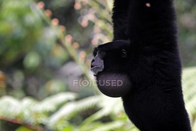 Ritratto di una scimmia Siamang che oscilla su un albero, Indonesia — Foto stock