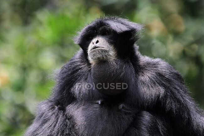 Ritratto di una scimmia Siamang, Indonesia — Foto stock