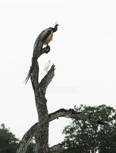 Pavone e uccello del paradiso seduti su un albero, Sri Lanka — Foto stock