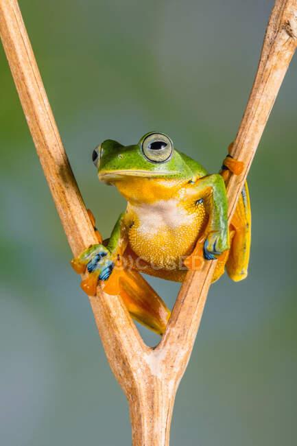 Retrato de una rana sentada en una planta, Indonesia — Stock Photo