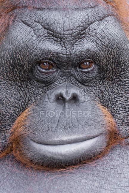 Retrato de cerca de un orangután, Kalimantan, Borneo, Indonesia - foto de stock