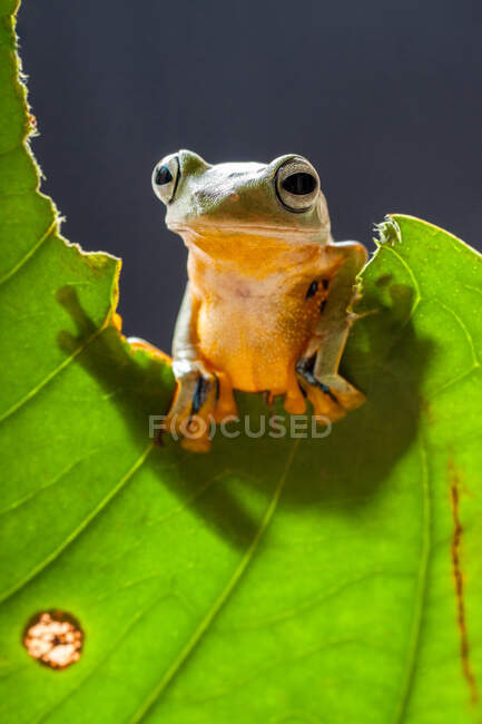Wallace's flying frog on a half eaten leaf, Indonesia — Stock Photo