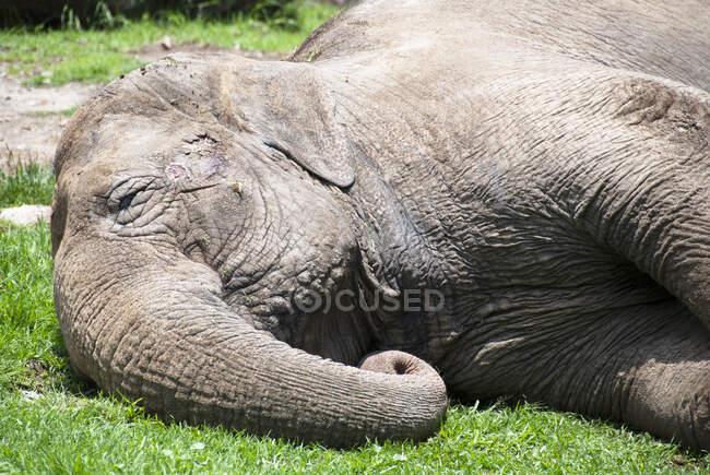 Primo piano di un elefante sdraiato, Messico — Foto stock